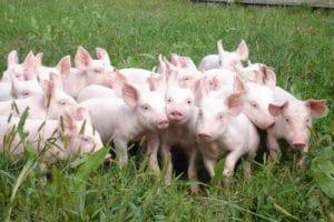 Mơ thấy lợn con đánh con gì